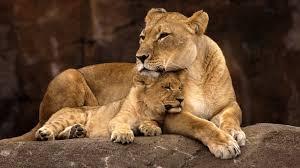 lion mom cub ngsversion 1469132764701 jpg