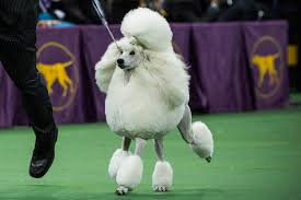 who won the dog show on thanksgiving the national dog show drinking game you need to play this thanksgiving