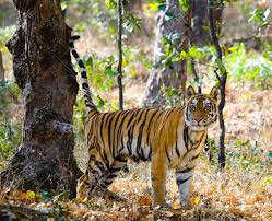 tiger in the jungle india stock photo picture and royalty