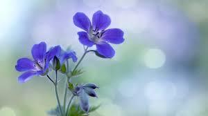 Blue Flower Backgrounds - flowers rose flowers beautiful roses nature blue desktop flower