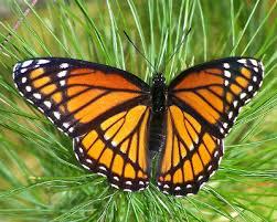 viceroy butterfly knowledge base lookseek com
