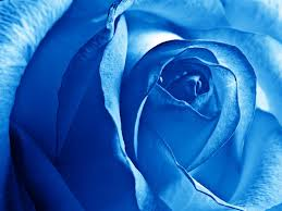 white blue roses dreamy white blue gallery yopriceville high quality