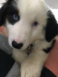 8 year old australian shepherd puppy alert our newest winedog is tahoe an 8 year old australian