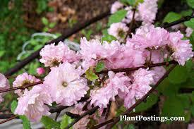 flowering almond prunus glandulosa flowering almond