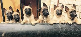 belgian sheepdog puppies price belgian shepherd malinois puppies puppy dog gallery