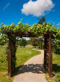 trellis covered in grape vines leading into a vineyard stock photo