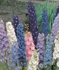 delphinium flower delphinium seeds for sale 16 delphiniums perennial flower seeds