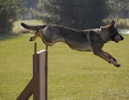 belgian sheepdog massachusetts 265 best k 9 u0027s images on pinterest german shepherds german