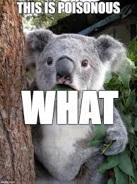Koala Meme Generator - shocked koala meme koala best of the funny meme