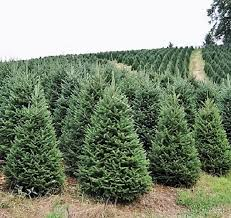 balsam fir christmas tree buy a real christmas tree online live premium grade fraser fir for