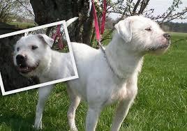 american pitbull terrier dalmatian mix bulldog dalmatian mix and other unusual mixes page 2