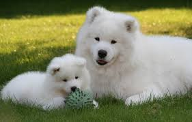american eskimo dog meme the top 12 fluffiest dog breeds that ever floofed barkpost