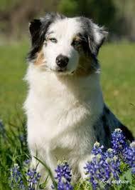 australian shepherd kansas australian shepherd mix dog for adoption in topeka kansas