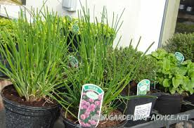 the container herb garden choosing culinary herbs for growing in
