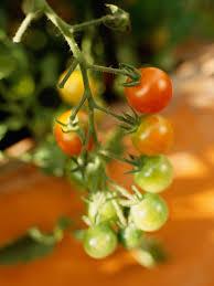 troubleshooting tomato plant problems hgtv