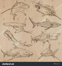 animals sharks chordata description hand drawn stock vector
