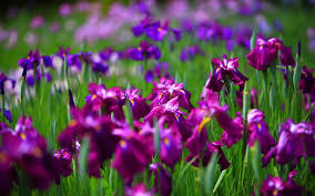 iris flowers iris flowers flowers world
