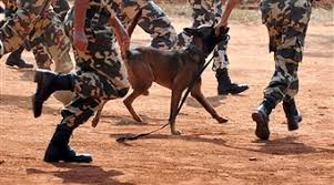 training a belgian sheepdog a belgian shepherd dog malinois runs w pictures getty images