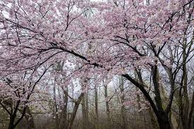 high park cherry blossoms to start blooming this weekend