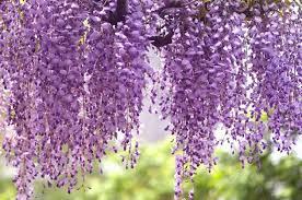 Japanese Flowers Pictures - wisteria floribunda u0027royal purple u0027 japanese wisteria
