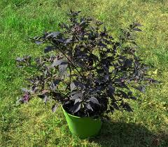 purple flash pepper seeds ornamental pepper seeds