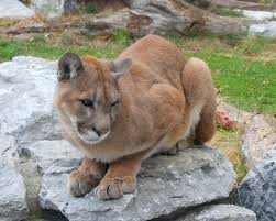 Washington wildlife images Animal rights groups challenge washington cougar hunt quota php