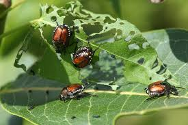 plants native to japan japanese beetles how to control kill u0026 get rid of japanese