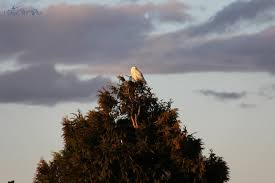 snowy owls in trees evening walks at boundary bay