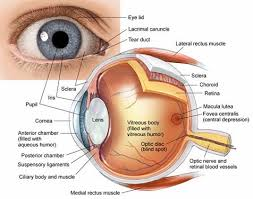 What Structure Of The Eye Focuses Light On The Retina Eye Anatomy And How The Eye Works