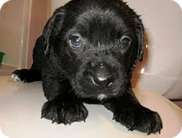 australian shepherd lab mix puppy darth vader adopted puppy huntsville al australian shepherd