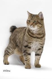 best 25 american bobtail ideas on pinterest bobtail cat manx