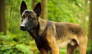 belgian malinois insurance the belgian malinois what you need to know