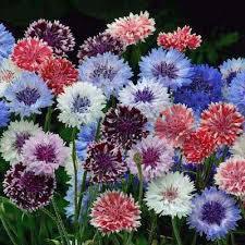 button flowers 21 top cutting garden flowers swallowtail garden seeds