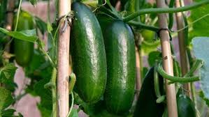 Can Cucumbers Grow Up A Trellis Tips To Effectively Grow Cucumbers Indoors Gardenaware Com