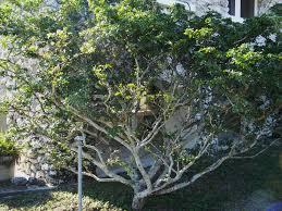 lignum vitae south florida trees