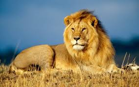 facts 20 facts about lions