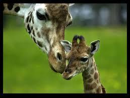 giraffe just like no one else