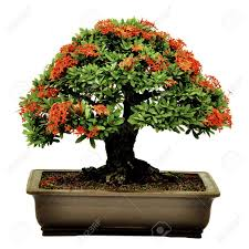 bonsai in pot potted bonsai tree small tree in pot isolated on