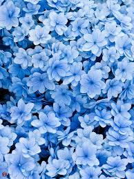 blue flowers el poder azul se asocia con simpatía armonía amistad