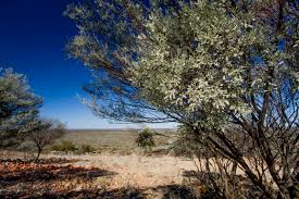native plants south east queensland the mistletoe u2014 as australian as the gum tree