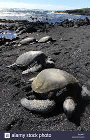 black sand beach big island green sea turtle basking on black sand beach hawaii the big island