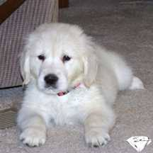 european white golden retriever puppies akc registered for sale