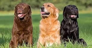 serena parker afghan hound judge labrador retrievers wallpapers fun animals wiki videos