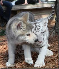tiger and wolf cubs album on imgur