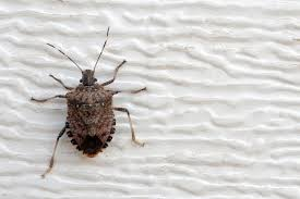 Bed Bugs Smell Move Over Bedbug The Stink Bug Has Landed The New York Times