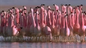 hilarious andean flamingo mating dance nature