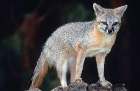 gray fox wikipedia