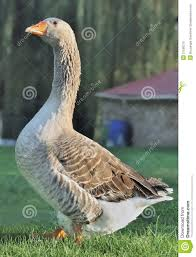 geese in backyard royalty free stock photo image 21556215