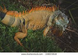 Big Lizard In My Backyard Orlando Florida November 6th Trex Stands Stock Photo 271633463