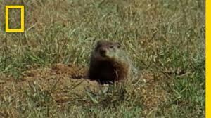 groundhog forecasters national geographic youtube